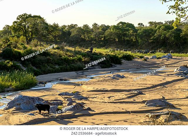 African buffalo, also know as Cape Buffalo (Syncerus caffer) and African bush elephant (Loxodonta africana) in Muhlambamadvube River. Scenic view