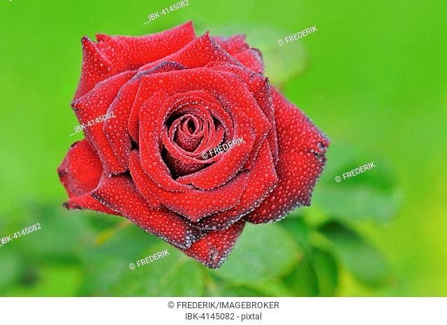 Red rose with raindrops, hybrid tea rose Schwarze Madonna, North Rhine-Westphalia, Germany