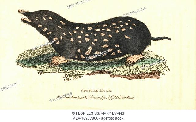 Spotted mole, Talpa europaea. . Handcolored copperplate engraving from The Naturalist's Pocket Magazine, Harrison, London, 1800
