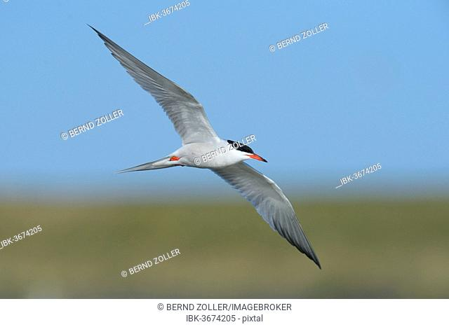 Common Tern (Sterna hirundo) in flight, Wagejot nature reserve, Texel, West Frisian Islands, province of North Holland, The Netherlands