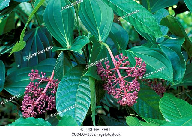 Medinilla magnifica Stock Photos and Images | age fotostock