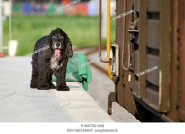 Cocker spaniel dog and a green bag waiting on a train station