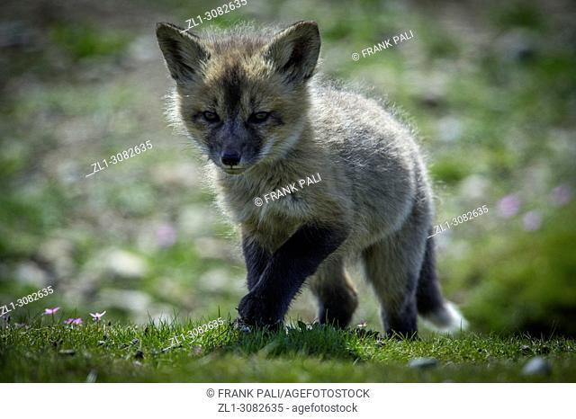 The cross fox kits (Vulpes vulpes) San Juan Island, USA