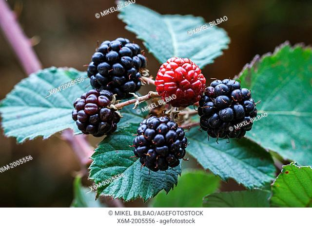 Wild Blackberry (Rubus ulmifolius) with fruits