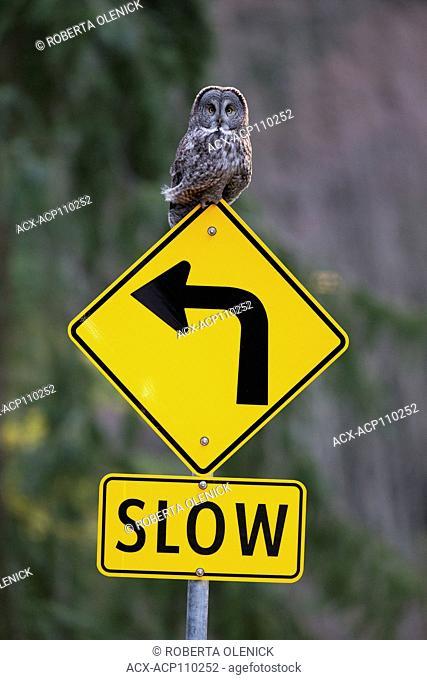 Great gray owl (Strix nebulosa), on road sign, Burnaby, British Columbia, Canada