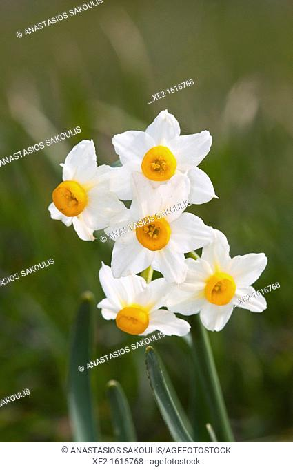 Narcissus tazetta - Daffodil, Chinese Sacred Lily, Bunch-flowered Narcissus, Joss flower. Crete
