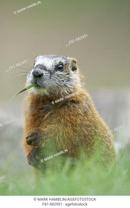 Yellow bellied Marmot (Marmota flaviventris) portrait of youngster feeding on grass. Yellowstone National Park, Wyoming, USA. June 2005