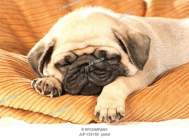 pug dog - puppy sleeping on pillow