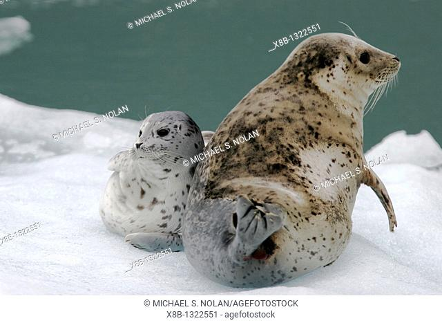 Harbor Seal Phoca vitulina mother and pup on ice calved from the Sawyer Glaciers in Tracy arm, Southeast Alaska, USA  Pacific Ocean