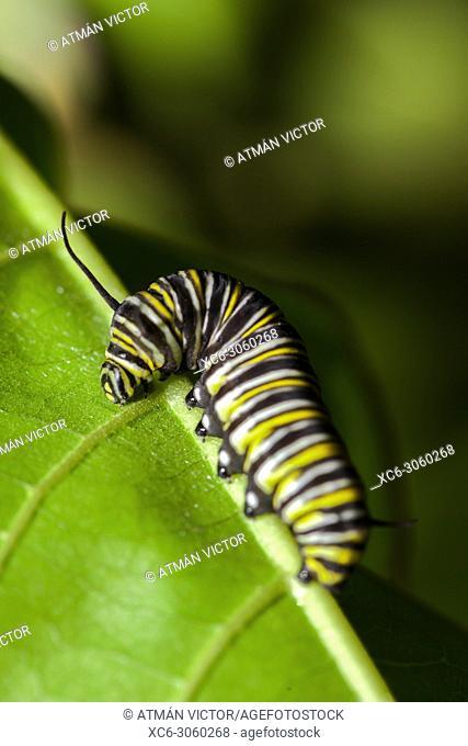 monarch butterfly caterpillar walking on a green leaf. Image taken in Palmetum garden. Tenerife, Canary islands, Spain