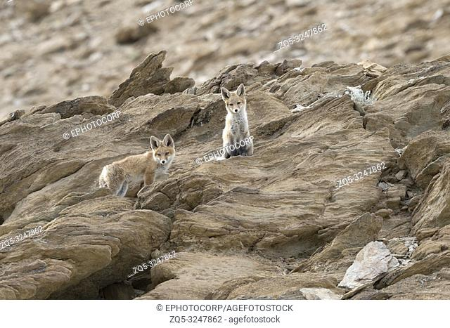 Himalayan Red Fox, Vulpes vulpes , Hanle, Leh Ladakh, Jammu and Kashmir, India
