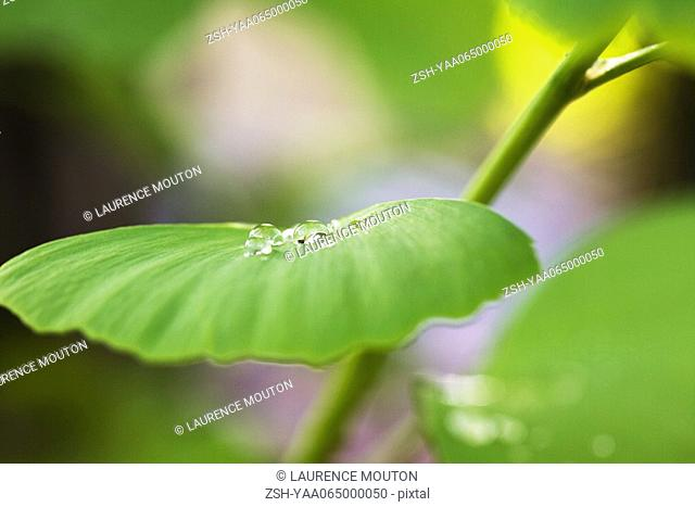 Dew drops on ginkgo leaf, extreme close-up