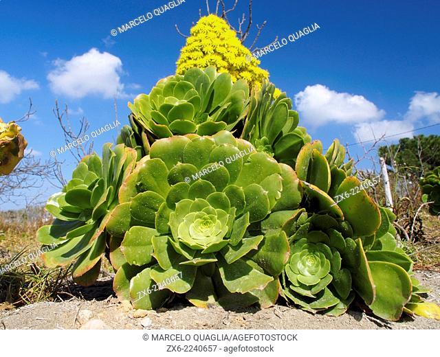 Saucer plant (Aeonium canariense) at vegetable garden beside Alfacs Bay. Ebro River Delta Natural Park, Tarragona province, Catalonia, Spain