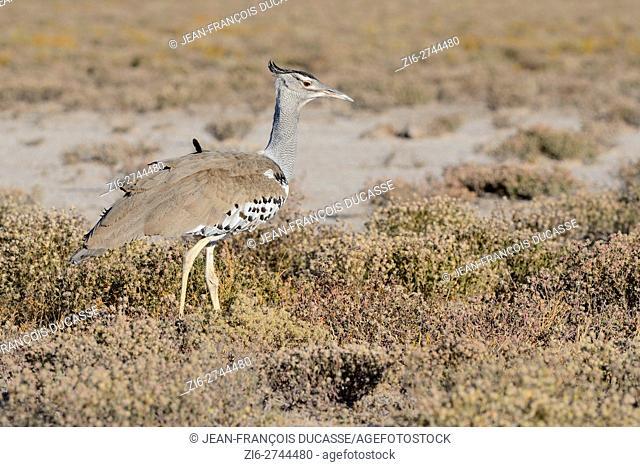 Kori bustard (Ardeotis kori), Etosha National Park, Namibia, Africa