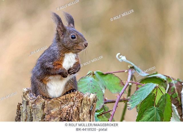Eurasian red squirrel (Sciurus vulgaris) sitting on tree stump, Biosphere Reserve Swabian Alb, Baden-Württemberg, Germany