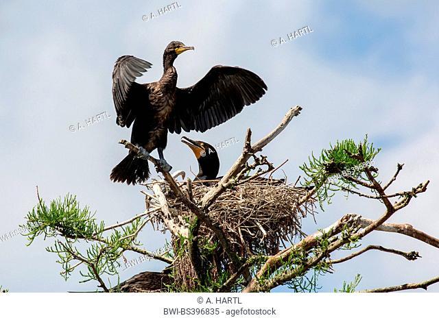 double-crested cormorant (Phalacrocorax auritus), breeding coupe at the nest, USA, Florida, Kissimmee