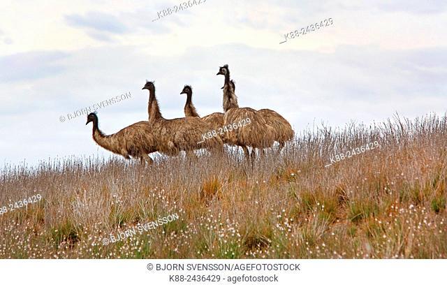 Emus (Dromaius novaehollandiae) in the Outback. Flinders Ranges, South Australia