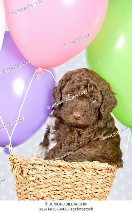Lagotto Romagnolo. Puppy (5 weeks old) in the basket of a self.made ballon. Studio picture. Germany