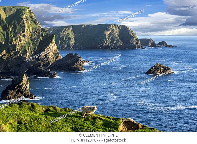 Sheep grazing along the spectacular coastline with sea cliffs and stacks, home to breeding sea birds at Hermaness, Unst, Shetland Islands, Scotland
