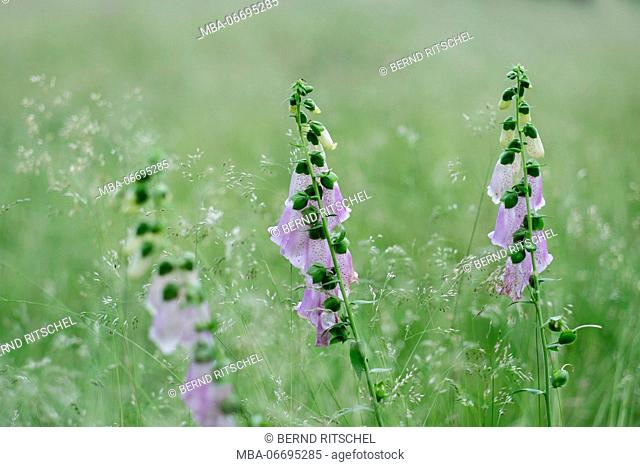 purple wild flowers in summer meadow, digitalis