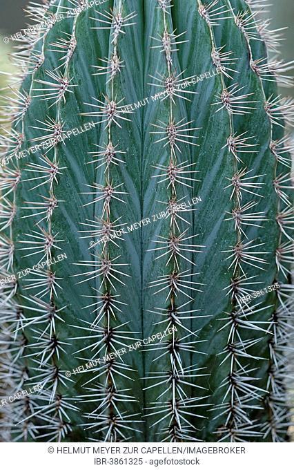 Mexican Giant Cactus or Cardón (Pachycereus pringlei), Botanical Garden, Erlangen, Middle Franconia, Bavaria, Germany