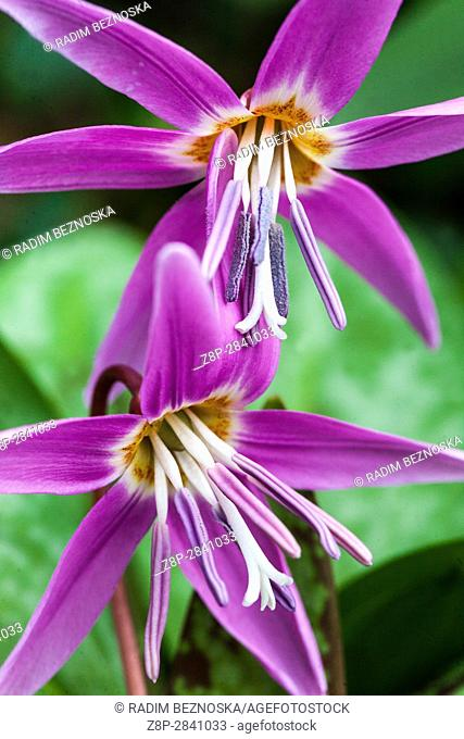 Erythronium dens-canis common name dog's-tooth-violet or dogtooth violet