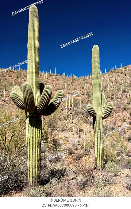 Saguaro cacti growing in Saguaro National Park, Arizona, USA