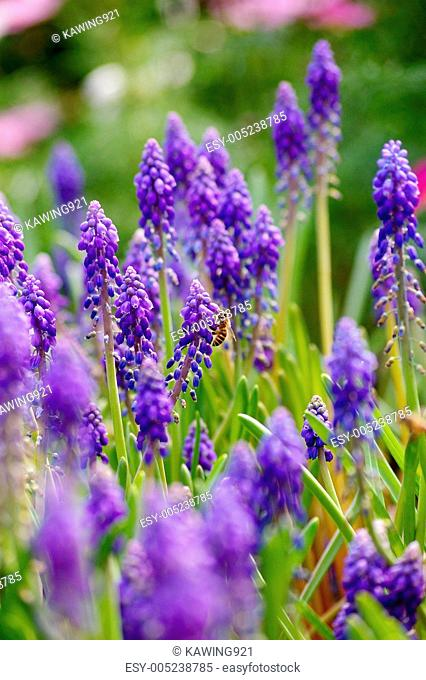 Grape hyacinth with bee in spring