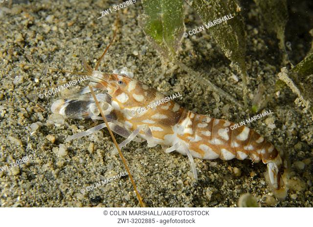 Tiger Snapping Shrimp (Alpheus bellulus) on sand, Tasi Tolu dive site, Dili, East Timor (Timor Leste)