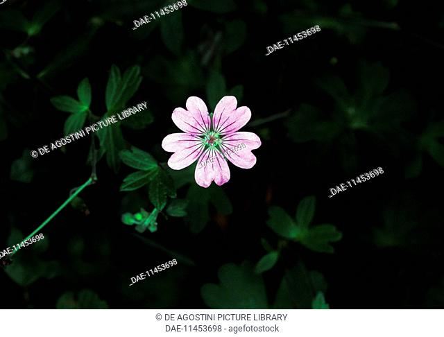 Flowering Round-leaved Crane's-bill (Geranium rotundifolium), Geraniaceae