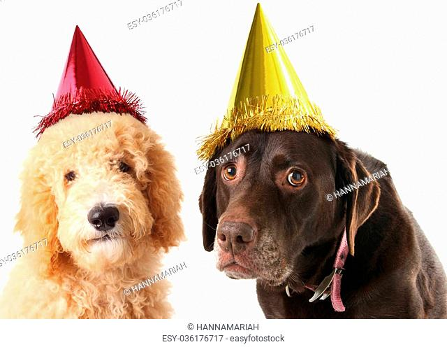 Old labrador retriever and a labradoodle wearing a birthday hats