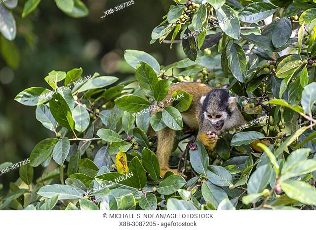Adult common squirrel monkey, Saimiri sciureus, feeding in the Pacaya-Samiria Nature Reserve, Loreto, Peru
