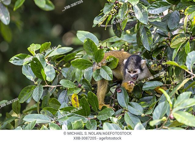 Adult common squirrel monkey, Saimiri sciureus, feeding in the Pacaya-Samiria Nature Reserve, Loreto, Peru