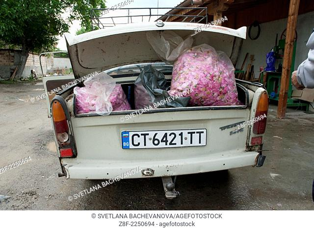 The famous old East Germany car, the Trabant, is used to transport sacks from the rose field to the distillery. The sacks are carefully weighed because...