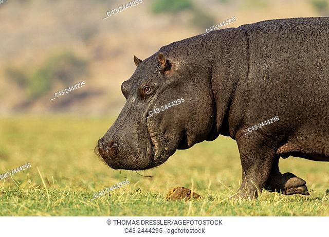 Hippopotamus (Hippopotamus amphibius) - Bull at the bank of the Chobe River. Photographed from a boat. Chobe National Park, Botswana