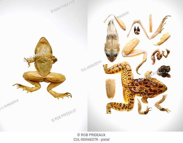 Frog and kit to make frog