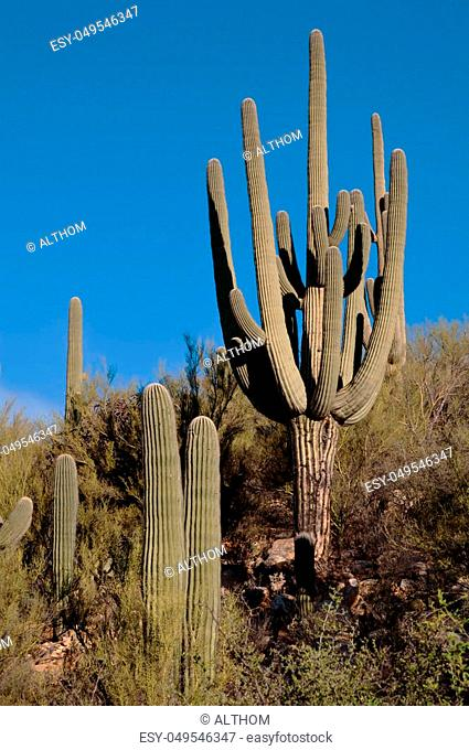 Several saguaro cacti on a hillside in the Sonoran desert under a beautiful blue sky