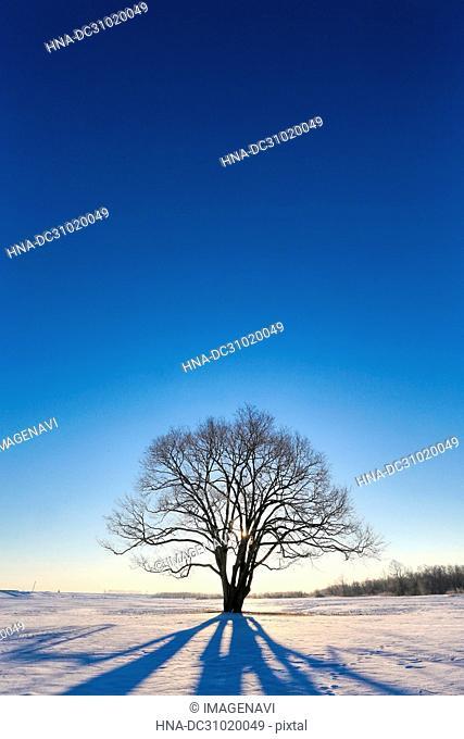 Japanese elm tree