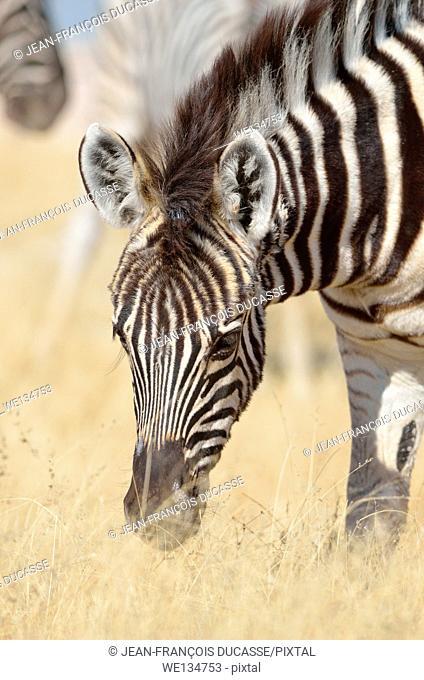 Burchell's zebra foal (Equus burchelli), grazing, Etosha National Park, Namibia, Africa