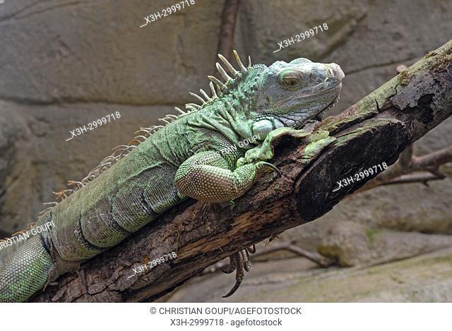 green iguana (Iguana iguana), ZooParc de Beauval, Loir-et-Cher department, Centre-Val de Loire region, France, Europe
