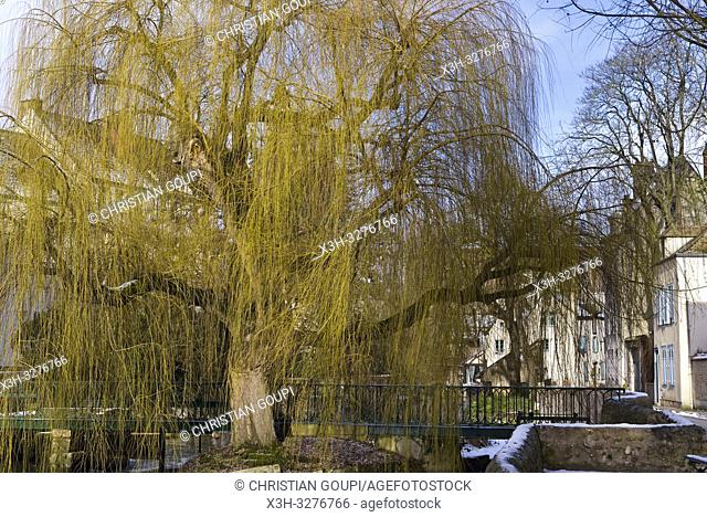 saule pleureur (Salix babylonica) sur les bords de la riviere Eure, Chartres, departement d'Eure-et-Loir, region Centre-Val de Loire, France