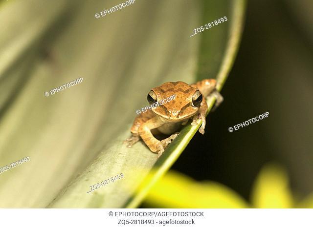 Tree frog, Polypedates sp., Barnawapara WLS, Chhattisgarh. FamilyRhacophoridae, the shrub frogs and Paleotropictree frogs