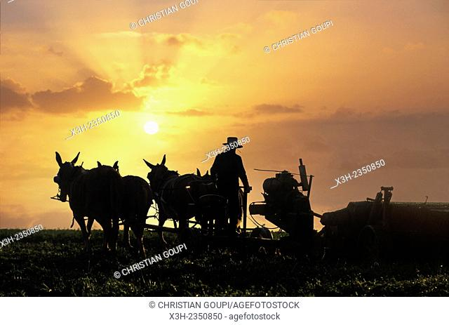 Amish farmer driving plow horses at sunset, Lancaster County, Pennsylvania, United States, North America