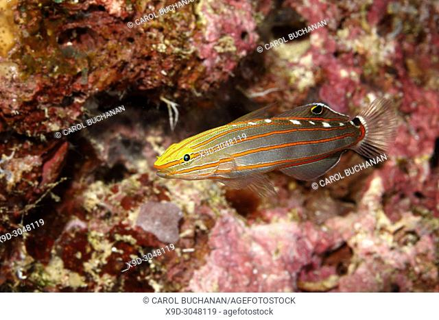 Old Glory Goby, Koumansetta rainfordi. Also known as Court Jester Goby and Rainford's Goby. Uepi, Solomon Islands. Solomon Sea, Pacific Ocean