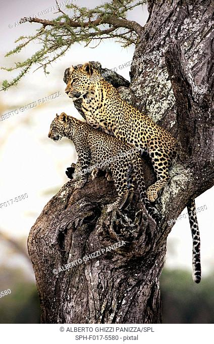 Leopard with cub sitting in the tree. Serengeti, Tanzania