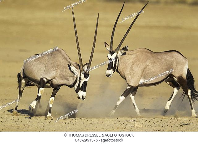Gemsbok (Oryx gazella). Females. Have been fighting. Kalahari Desert, Kgalagadi Transfrontier Park, South Africa