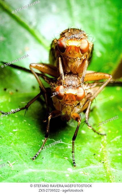 Dung Fly (Scathophaga)