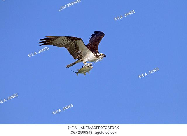 Osprey Pandion haliaetus in flight carrying fish Fort Myers beach Gulf coast Florida USA March