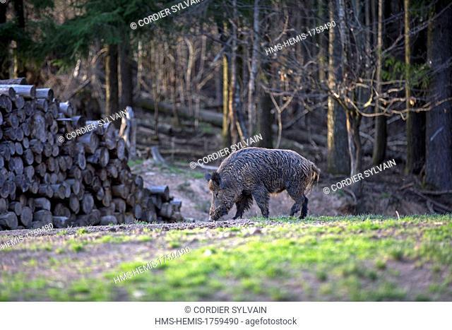 France, Haute Saone, Private park, Wild Boar ( Sus scrofa ), male