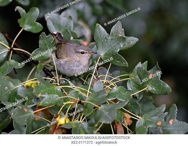 Eastern Bonelli's Warbler (Phylloscopus orientalis), Greece